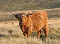 Red Highland Cattle