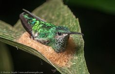 fairy-wren:  Glittering Throated Emerald. Photo by Andrew Snyder