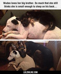 Wudan Loves Her Big White Brother#funny #lol #lolzonline