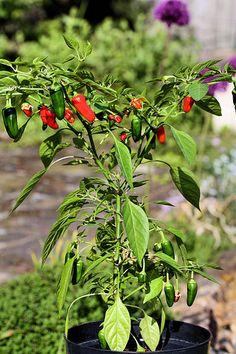 chili Chili, My Life, Plants, Chile, Plant, Chilis, Planets