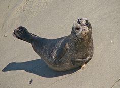 The Seals of La Jolla » Always adorable!! #PinUpLive