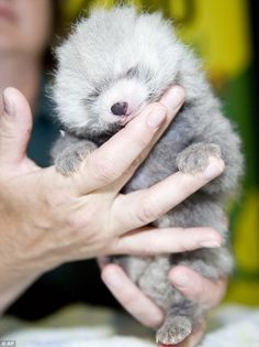 Baby red panda is not red yet!