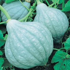 Blue Magic Winter Squash -  100 Days. Blue Magic is a unique, small, hybrid Blue Hubbard that is more size-friendly for today's smaller families. It has the same great eating qualities as a normal size Hubbard, with its fine-grained, tasty flesh. The 4-6 lb. fruit are produced on semi-vining plants