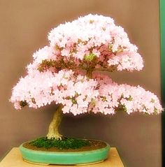Cherry Blossom Bonsai, displayed at Chelsea Flower Show 2010