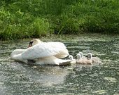 swan family-nature photography