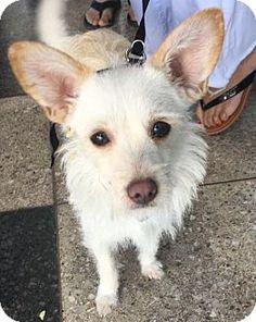 Long Beach, CA - Cairn Terrier/Terrier (Unknown Type, Medium) Mix. Meet Paloma, a dog for adoption. http://www.adoptapet.com/pet/17802284-long-beach-california-cairn-terrier-mix