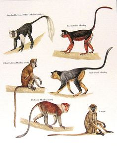 Angolan Monkey Red Colobus Monkey Langur by mysunshinevintage
