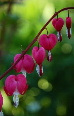 Spring Gardening Trends And Tips: Bleeding hearts or Ballerina slippers. Whatever you want to call them these things are beauties - Hubub