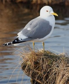 Mew gull  Habitat: Ocean beaches and ponds  Size: Length 16 inches; wingspan 43 inches  Fact: Like other gulls, the mew gull has a varied diet. It will sometimes drop mollusks onto a hard surface to break open the shells, allowing it to eat the meat inside.     Have you seen a mew gull in Snohomish County?