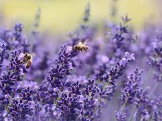 O Včelím domě v Krušný horách Best Flowers For Bees, Lavender Flowers, Types Of Flowers, Amazing Flowers, Purple Flowers, Long Blooming Perennials, Sun Perennials, Perennials, Calamari