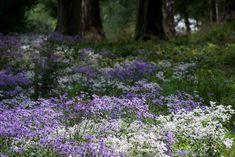 "Nigel Dunnett: ""Blue Aster macrophyllus 'Twilight' and white Aster divaricatus in the new woodland garden Sept 2016 Garden Beds, Garden Plants, Hardy Perennials, Woodland Garden, Different Plants, Walk In The Woods, Dream Garden, Meadow Garden, Plantation"
