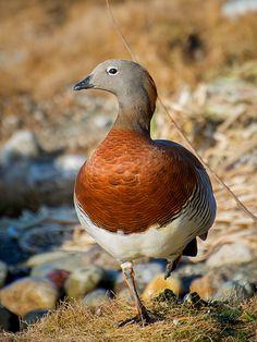 Ashy-headed Goose (Chloephaga poliocephala) | Flickr - Photo Sharing!