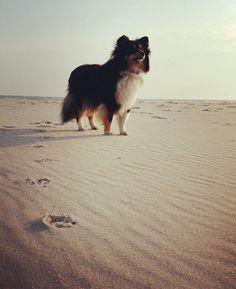 https://flic.kr/p/TtfWH3 | Daja Spuren im Sand #Sheltie #prerow #darss #darß #ostsee