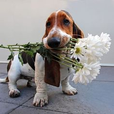 Very interesting post: TOP 40 Funny Dogs and Puppies Pictures.сom lot of interesting things on Funny Dog. Hound Puppies, Basset Hound Puppy, Cute Puppies, Cute Dogs, Dogs And Puppies, Doggies, Beagle Puppies, Funny Puppy Pictures, Cute Pictures