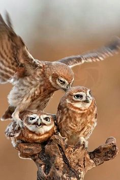 I love how the one owl lands on top of the one already on the tree. The bottom owl looks pissed hahaha! Beautiful Owl, Animals Beautiful, Cute Animals, Owl Photos, Owl Pictures, Owl Bird, Pet Birds, Owl Family, Photo Chat