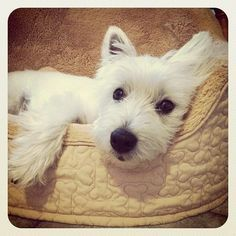 Hello Lover ♥♡♥ West Highland Terrier