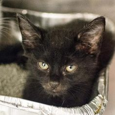 STATUS UNKNOWN - Houdini - URGENT - Dekalb County Animal Shelter in Decatur, Georgia - ADOPT OR FOSTER - 2 MONTH OLD Male Domestic Shorthair Mix