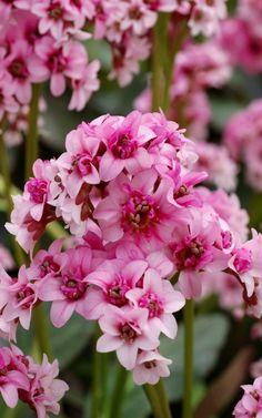 Zimmerpflanze schattig bergenien blühende zimmerpflanzen pflegeleicht