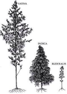 Sativa indica ruderalis