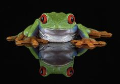 Red eyed tree frog reflection- Double the beauty
