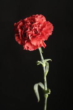 Red Carnation (Dianthus Caryophyllus)