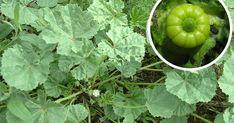 Emlékszel még a papsajtra? Ez a növény többet ér mint bármilyen csodaszer. Skin Tag Removal, Medicinal Plants, Natural Cosmetics, Botany, Celery, Herbalism, Flora, Spices, Health Fitness