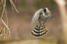 Deze Sperwer (vrouw) was druk op jacht naar kleine vogels.