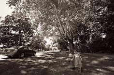 Buttonball Tree (Sunderland, Massachusetts)