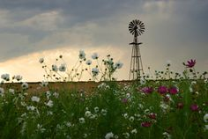 fields of cosmos wild flowers every year in March and April... - near Sasolburg, South Africa