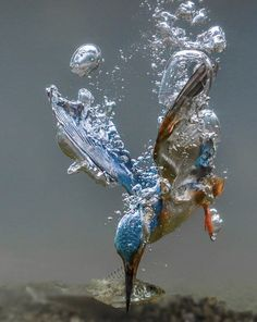 Kingfisher making his dive! Kingfisher making his dive! Pretty Birds, Love Birds, Beautiful Birds, Animals Beautiful, Nature Animals, Animals And Pets, Cute Animals, Wild Animals, Baby Animals