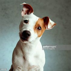 Image result for jack russell