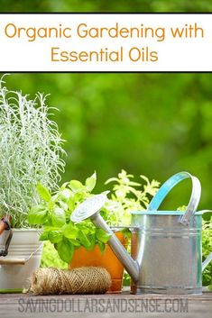 I am totally using essential oils to keep bugs away from my plants this year! Organic Gardening with Essential Oils is a great way to grow a healthy garden that everyone in the family can get food from.  #organic #gardening #essentialoils