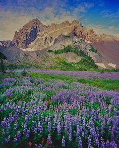 summer wildflowers, Three Fingered Jack/Canyon Creek Meadow, Mt. Jefferson Wilderness Area, Oregon