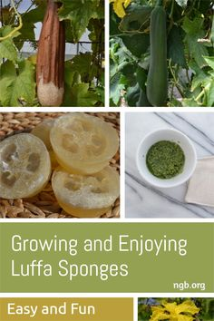 Growing your own supply of natural sponges is easy and fun. Luffa (loofah) sponges do not come from the sea but from the vegetable garden. These natural scrubbers belong in the family of plants that include gourds, squashes, pumpkins, cucumbers, and melons. They are most closely related to cucumbers in appearance and growing habits. They can be used as household scrubbers, body exfoliators, and young luffas are even edible and delicious when added to simple dishes and stir-fry recipes. Vegetable Garden, Garden Plants, Loofah Sponge, Natural Sponge, Eating Vegetables, Seeds For Sale, Squashes, Vegetable Glycerin, Mindful Eating