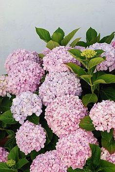 Flores de Hydrangea macrophylla - Hortensia