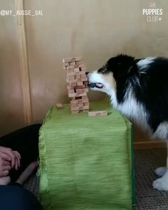 Meet Secret - the best Jenga player in the world. The way she calmly pulls out each block is trully amazing! Cute Funny Animals, Cute Baby Animals, Funny Dogs, Animals And Pets, Baby Puppies, Cute Puppies, Dogs And Puppies, Cat Dog, Dogs Of The World