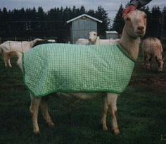 Rocky Run Goat Coats - Pattern & instructions. Good for sick goats #goatvet
