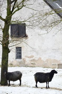 Historic Country House & Farm With Black Sheep In The French Countryside,. Nature & Art Is Divine. Farm Animals, Cute Animals, Baa Baa Black Sheep, Photo Animaliere, Sheep And Lamb, All Nature, Coastal Cottage, Land Art, Farm Life