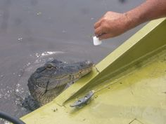 Alligator really do like marshmallows.  Ride around in an air boat in Orange TX.