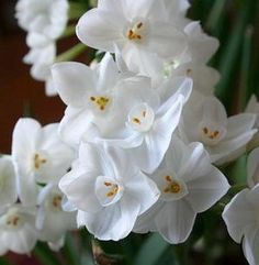 Paperwhites Nir 10 very lg bulbs $11.95 new variety, more flower stems per bulb and larger number of floretes per stem
