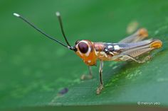 Cute baby grasshopper by melvynyeo.deviantart.com on @deviantART