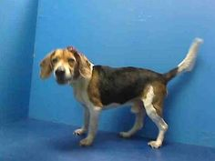 GONE RIP 06/14/13 Brooklyn Center JACK A0967961 male tricolor beagle mix 8 YRS  ACC is not giving Jack any more time to find that family and he's tomorrow morning's euthanasia list. If you think that you can be the one for Jack, that you can foster or adopt him, speak up right now to get him out of that place. Tomorrow will be too late!  https://www.facebook.com/photo.php?fbid=623297071016509=a.611290788883804.1073741851.152876678058553=3