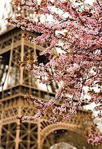 Eiffel Tower Cherry Blossoms.  Paris in the spring.