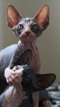 ¨No we did'nt do it¨ ¨uhm wel we actually di...¨ ¨SHHHhhut up bro I'm saving us right here¨ #SphynxCat