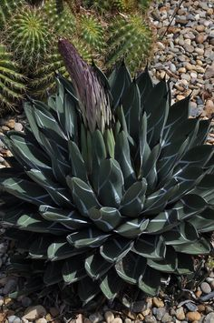 Agave nickelsiae, formerly known as Agave ferdinandi-regis, began putting out its flowering stalk at the tail end of April 2014.  The Ruth Bancroft Garden / Walnut Creek, CA