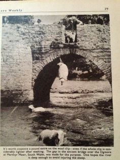 The 'dipping' bridge over the River Ogmore in the village of Merthyr Mawr, Bridgend, South Wales - the bridge is still there in the village and this old picture shows the sheep being washed before shearing. Wales Uk, South Wales, Cardiff Wales, Old Pictures, Old Photos, Welsh Rugby, Over The River, Cymru, British Isles