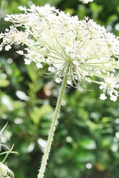 .Queen Anne's Lace