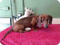 Gardena, CA - Dachshund Mix. Meet RUDY, a puppy for adoption. http://www.adoptapet.com/pet/12846029-gardena-california-dachshund-mix