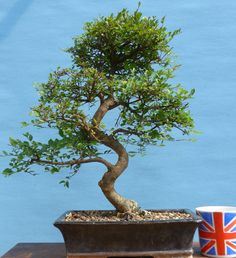 Chinese Elm Large Quality Bonsai Tree
