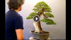 Evoluzione Bonsai    : ALFREDO SALACCIONE - RESTYLING OF A JAPANESE JUNIP...